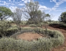 spinifex1